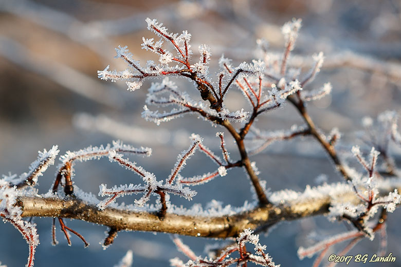 Frostiga rundhagtornskvistar