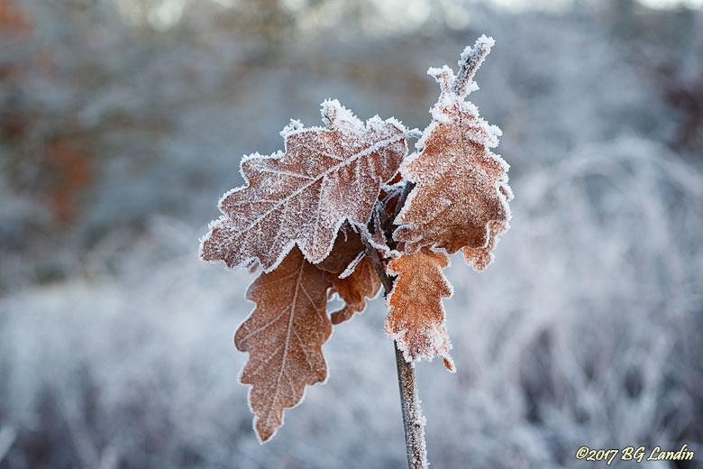 Frostiga eklöv
