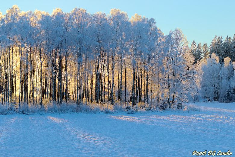 Glödande vinterskog