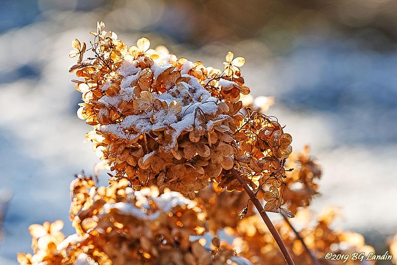 Gyllene blomställning