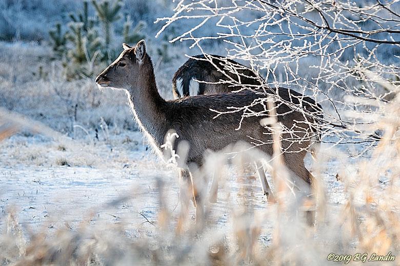 Hjort i vintermiljö