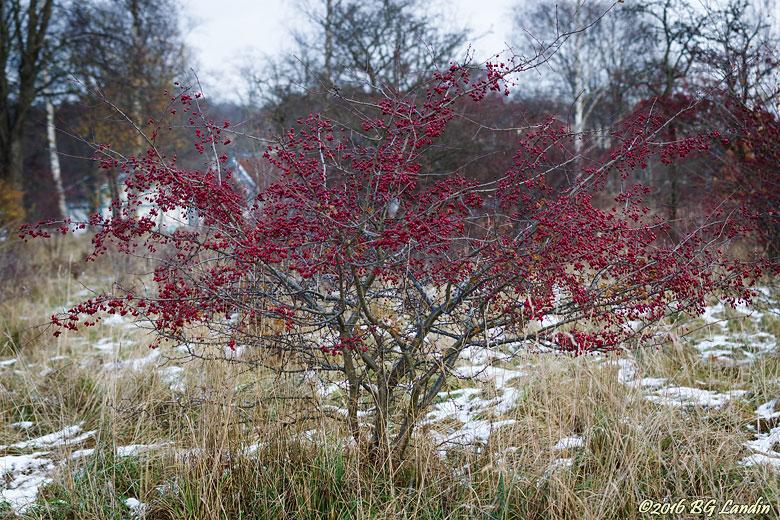 Massor röda rundhagtornsbär