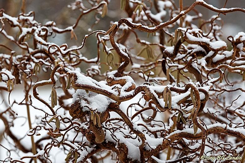 Ormhassel med snö