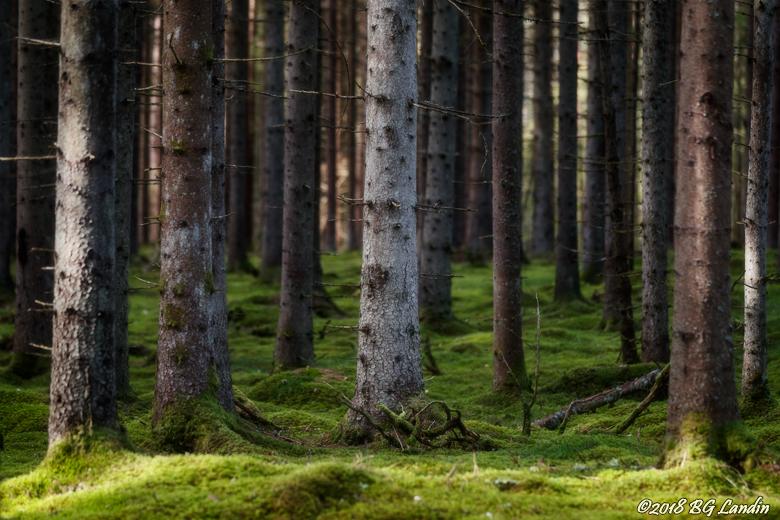 Tallstammar i gammelskog