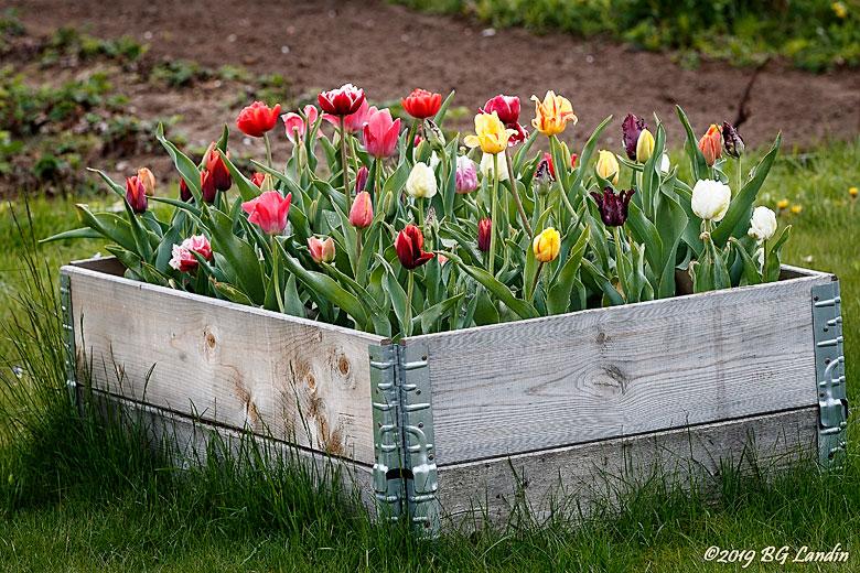 Tulpaner i pallkragar