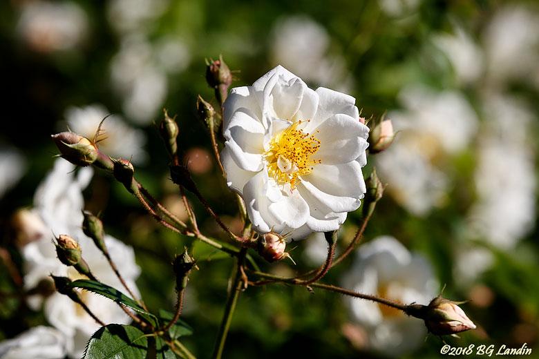 En vit ros