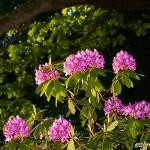 Prunkande rhododendron