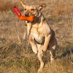 Stegrande labrador