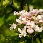 Blommande rundhagtorn
