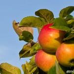Mogna äpplen