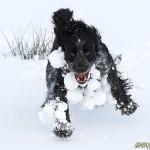 Snöbollsförsedd cocker