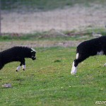 Skuttande lamm