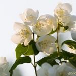 Ljuvligt vita blommor