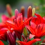 Röda liljor