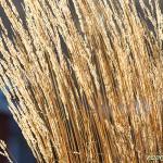 Gyllene gräs