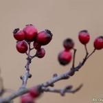Hagtornsbär
