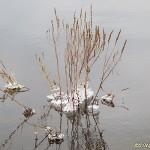 Isig vattenväxt
