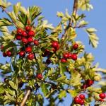Röda rundhagtornsbär
