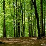 Bokskog i vårskrud