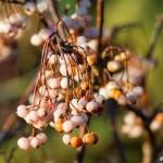 Pärlrönn med vita bär