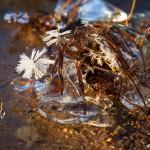 Frostblommor