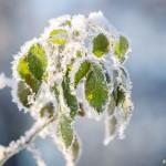 Frostiga gröna blad