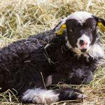 Svartvitt lamm