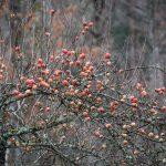 Läckra äpplen