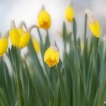 En vacker Narcissus