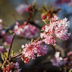 Rödvita blommor om våren