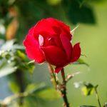 En röd ros