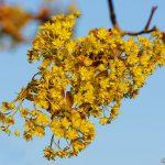 Gula blommor på träd
