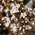 Vita trädblommor