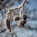 Frostig alkottar