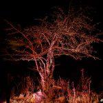 Upplyst träd i Tomtebo