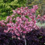 Ungt körsbärsträd i blom